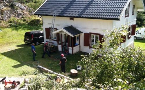 Felling av bjørk / Logging